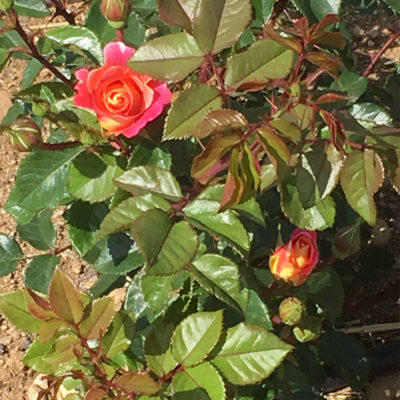 Les Amis de la Rose Nyon